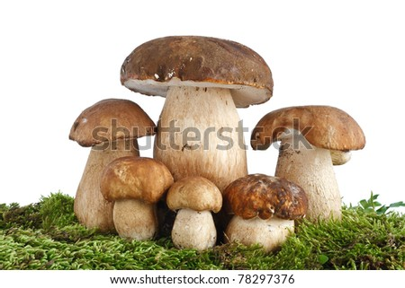 six Boletus Edulis mushrooms on moss over white background - stock photo