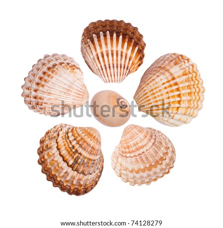 Six common cockle shells arranged in a flower shape, isolated on white background - stock photo