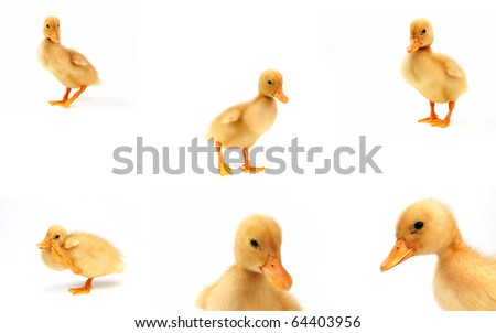 six cute yellow ducks ,isolated on white  in   a 10 mp. file - stock photo