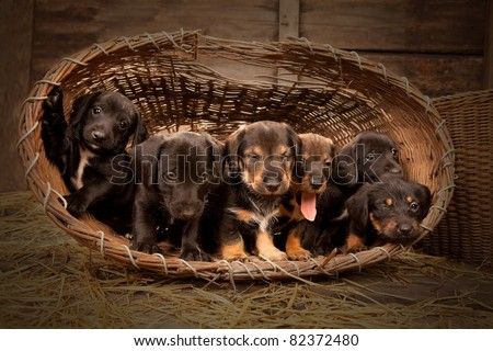 Six dachshund puppies purebred in basket. - stock photo