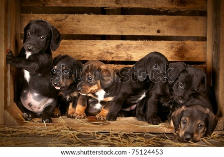 six dachshund puppies 3 weeks old purebred over wooden  background