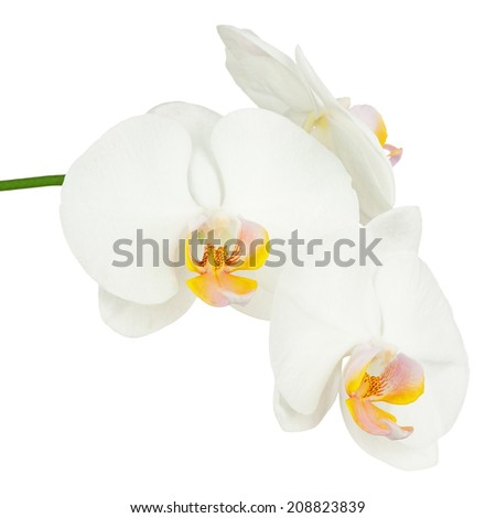 Six day old white orchid isolated on white background. Closeup.