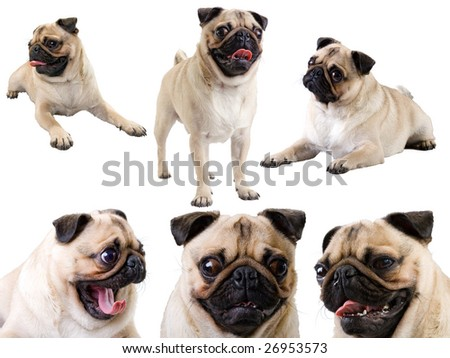 Six large isolated on white images of small young pug.