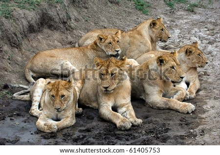 Six lions. In hot day Six lions have a rest in a hollow. - stock photo