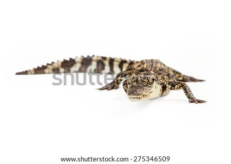 Six month old baby Siamese Crocodile, a red-listed critically endangered species.  - stock photo