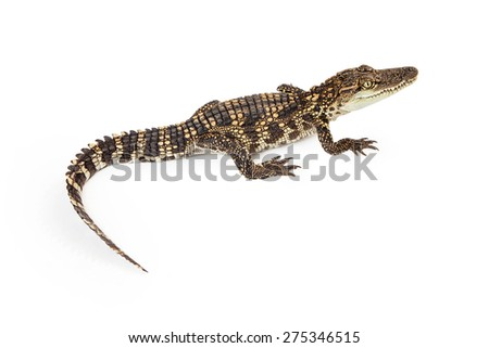 Six month old baby Siamese Crocodile, a red-listed critically endangered species, isolated on white