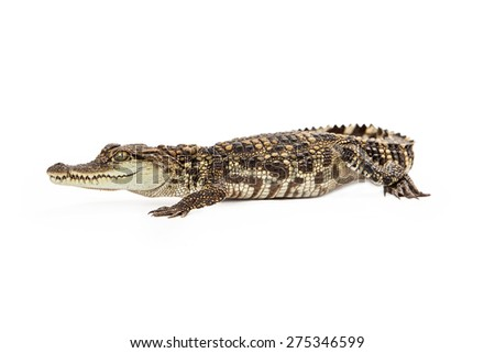 Six month old baby Siamese Crocodile, a red-listed critically endangered species isolated on white. - stock photo
