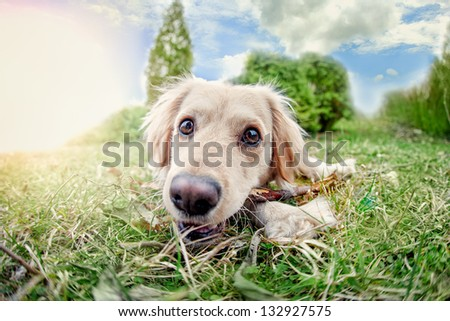 Six month old Labrador Retriever puppy lying in the grass and looking up at the camera. - stock photo