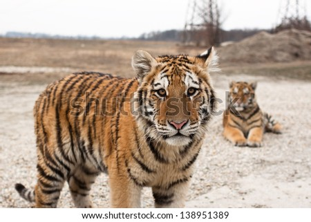 six months old siberian tiger cubs - stock photo