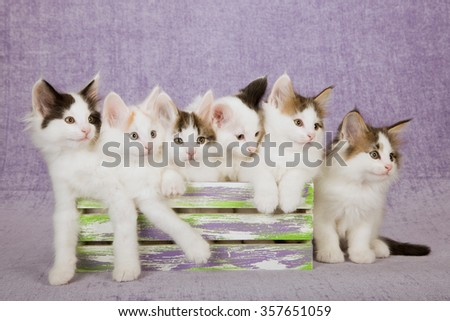 Six Norwegian Forest Cat kittens sitting inside slatted wooden box on light purple background  - stock photo