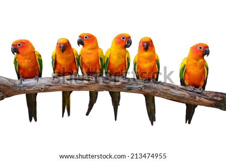 Six of Sun Conure Parrot bird perching on a branch, white background