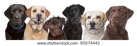 six portraits of Labrador dogs in a row isolated on a white background - stock photo