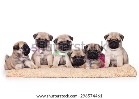 Six pug puppies sitting and looking at the camera (isolated on white) - stock photo