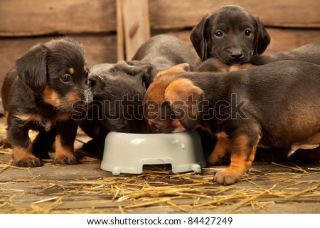 Six puppies of dachshund near bowl with milk - stock photo