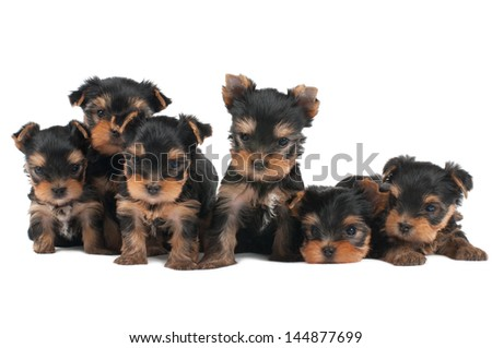 Six puppies of the Yorkshire Terrier isolated on white - stock photo