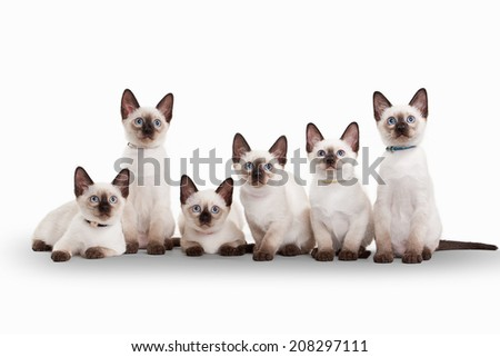 six small thai kittens on white background - stock photo