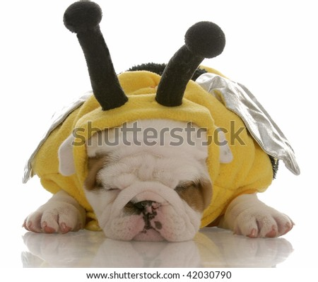 six week old english bulldog puppy dressed up as a bee - stock photo