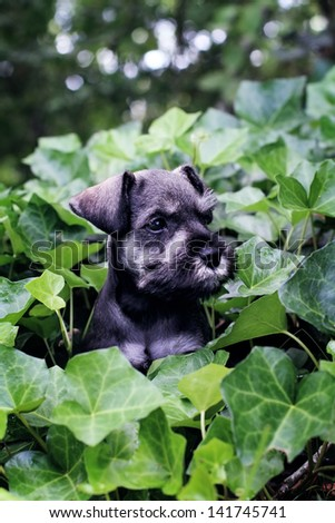 Six week old salt and pepper Mini Schnauzer playing in a bed of ivy. Extreme shallow depth of field with selective focus on puppies face. - stock photo
