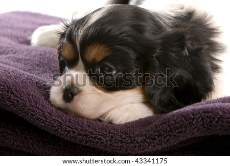 six week old tri color cavalier king charles spaniel puppy - stock photo