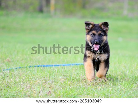 Six weeks german shepherd running - stock photo