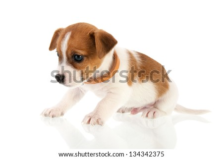 Six weeks old Jack Russel puppy dog isolated over white background