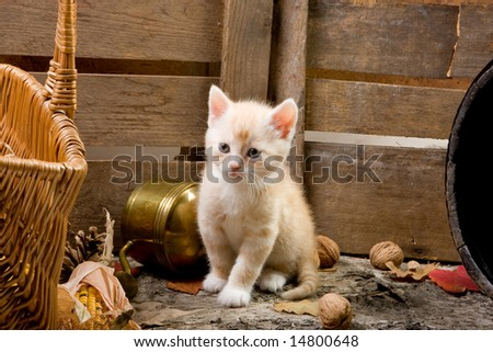 Six weeks old kitten exploring the farm neighborhood - stock photo