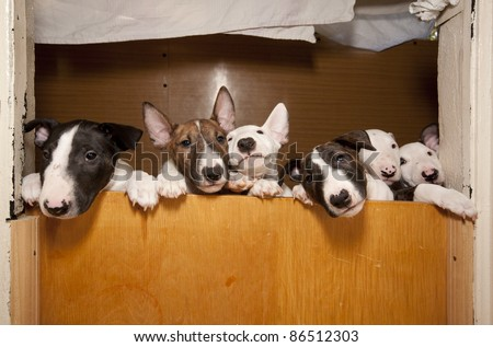 six young bullterriers - stock photo