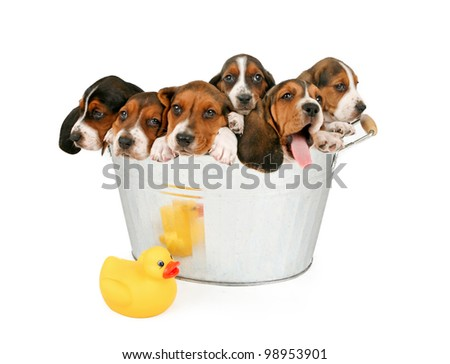 Six young puppies in an old vintage bathtub. Isolated on white. - stock photo
