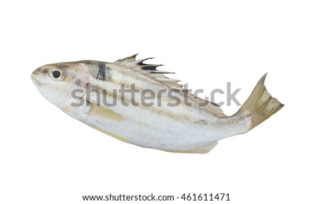 Sixlined Terapon fish isolated on white background, Helotes sexlineatus