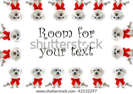 sixteen Pure breed Bichon Frises wear red bows with room for your text isolated on white , text is easily replaced with your text - stock photo