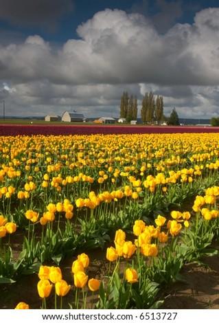 Skagit Valley Tulips - stock photo