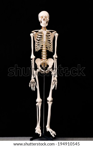 Skeletal preparations - stock photo