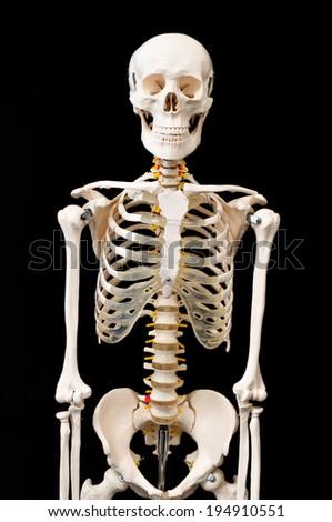 Skeletal preparations - stock photo