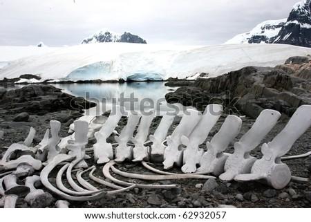 skeleton in beautiful Antarctica - stock photo