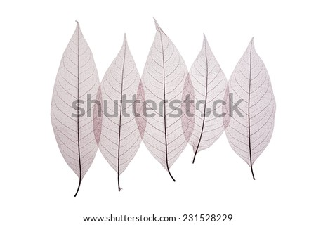 Skeleton leaves  abstract background, leaves isolated on white. - stock photo