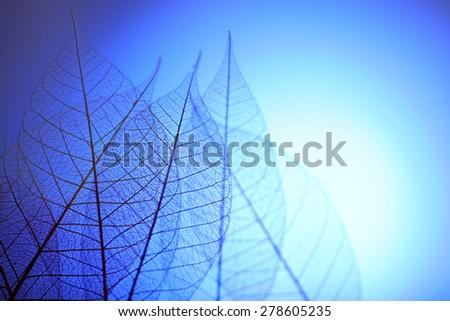 Skeleton leaves on blue background, close up - stock photo