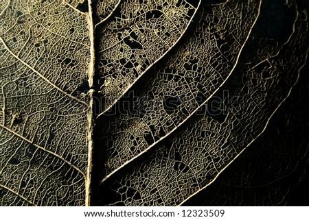 skeleton of a decomposing leaf - stock photo