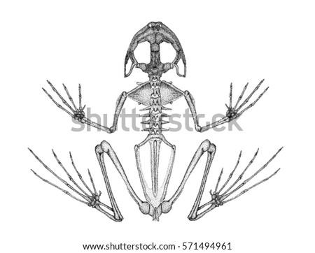frog skeleton stock images royalty free images vectors. Black Bedroom Furniture Sets. Home Design Ideas