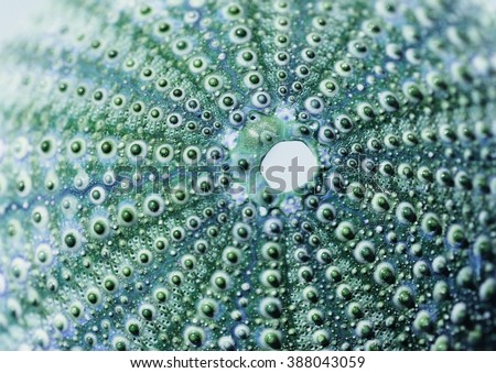 skeleton of a see urchin in shades of blue and green color - stock photo