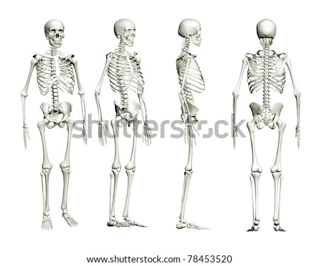 Skeleton of an adult is isolated on a white background. Four points of view, 3D image