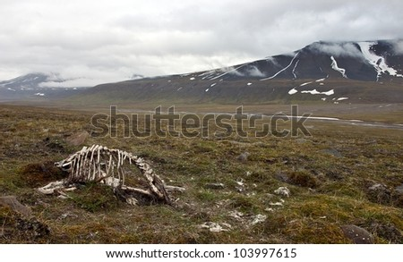 Skeleton of dead reindeer in arctic tundra (in Svalbard archipelago) - stock photo