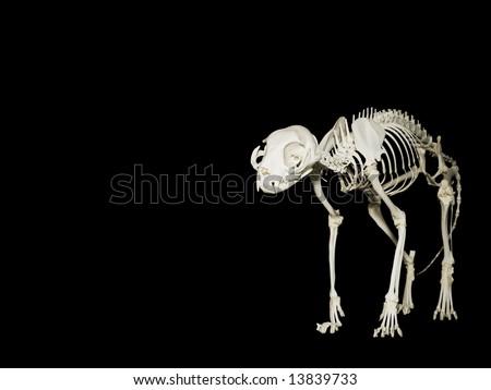 Skeleton of the domestic cat or Felis Catus - stock photo