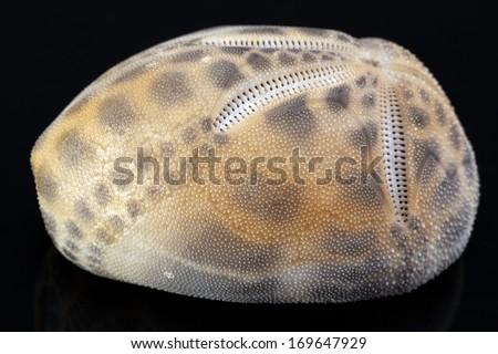 skeleton of the sea urchin isolated on black background - stock photo