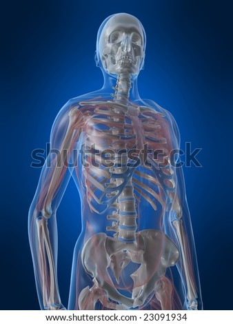skeleton with transparent muscles - stock photo