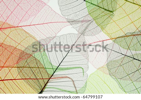 Skeletons of multi-colored autumn leaves - stock photo