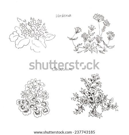 sketch of plants kalanchoe verbena geranium pelargonium