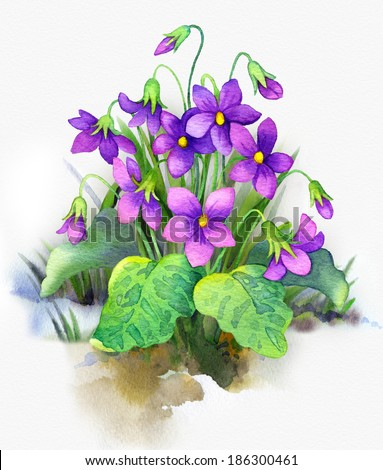 Sketchy colorful watercolor painting on white paper. Bright purple flowers and lush green leaves bush forest violet grew out of a snowdrift thawed patch - stock photo