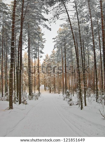Ski tracks through the winter pine forest. Clear sunny day in good weather - stock photo