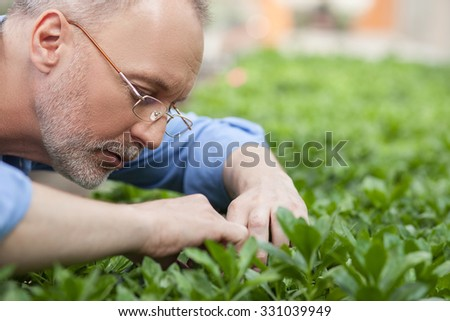 Skillful old gardener is working at greenhouse. He is looking at plant with concentration and touching it. The man is standing in apron - stock photo