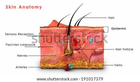 Skin Anatomy - stock photo